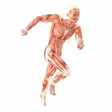 Muskulaturen hos en springande människa